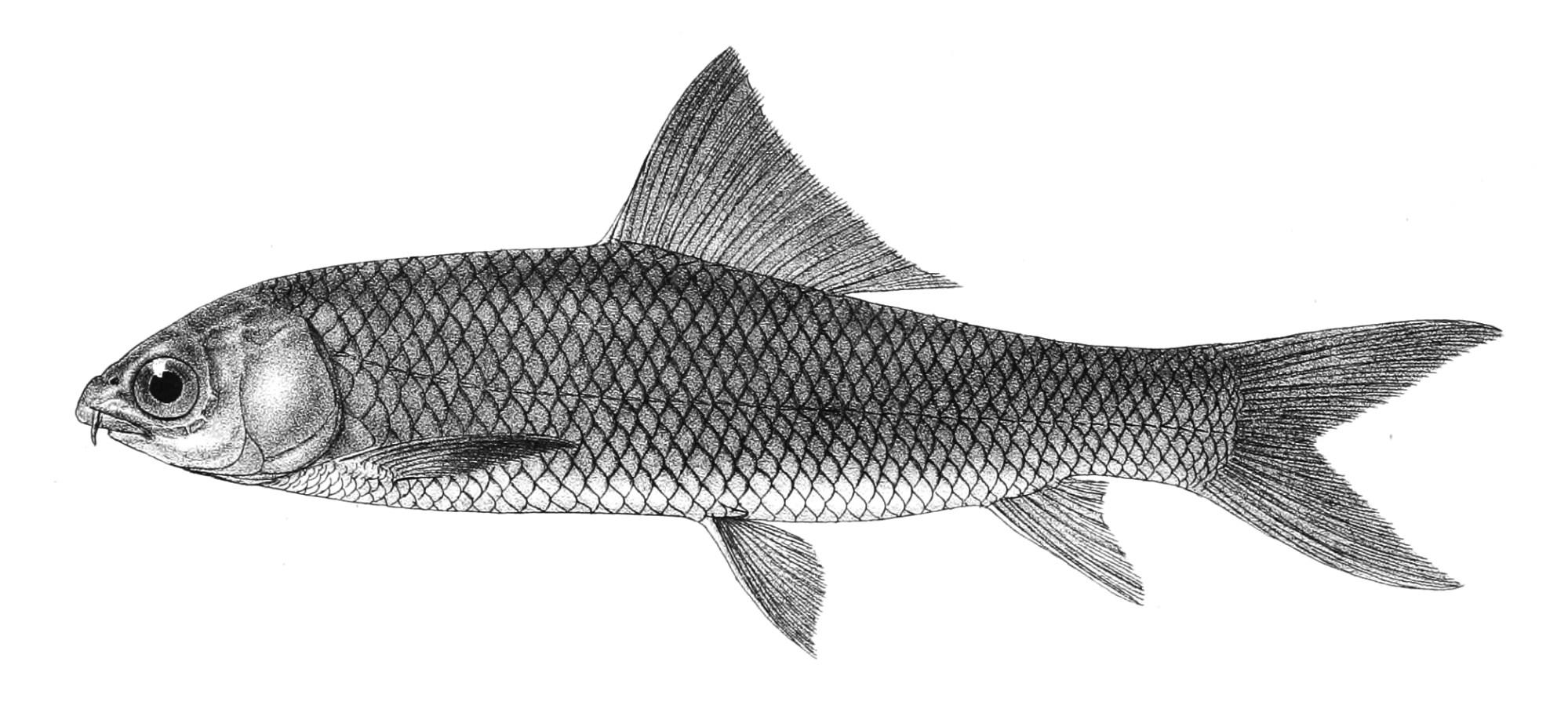 hight resolution of cirrhinus mrigala