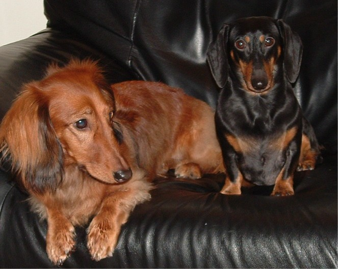 Wikipedia: Regular & Miniature Dachshund