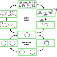 Dna Replication Diagram Worksheet Bargman Wiring Lytic Cycle - Wikipedia
