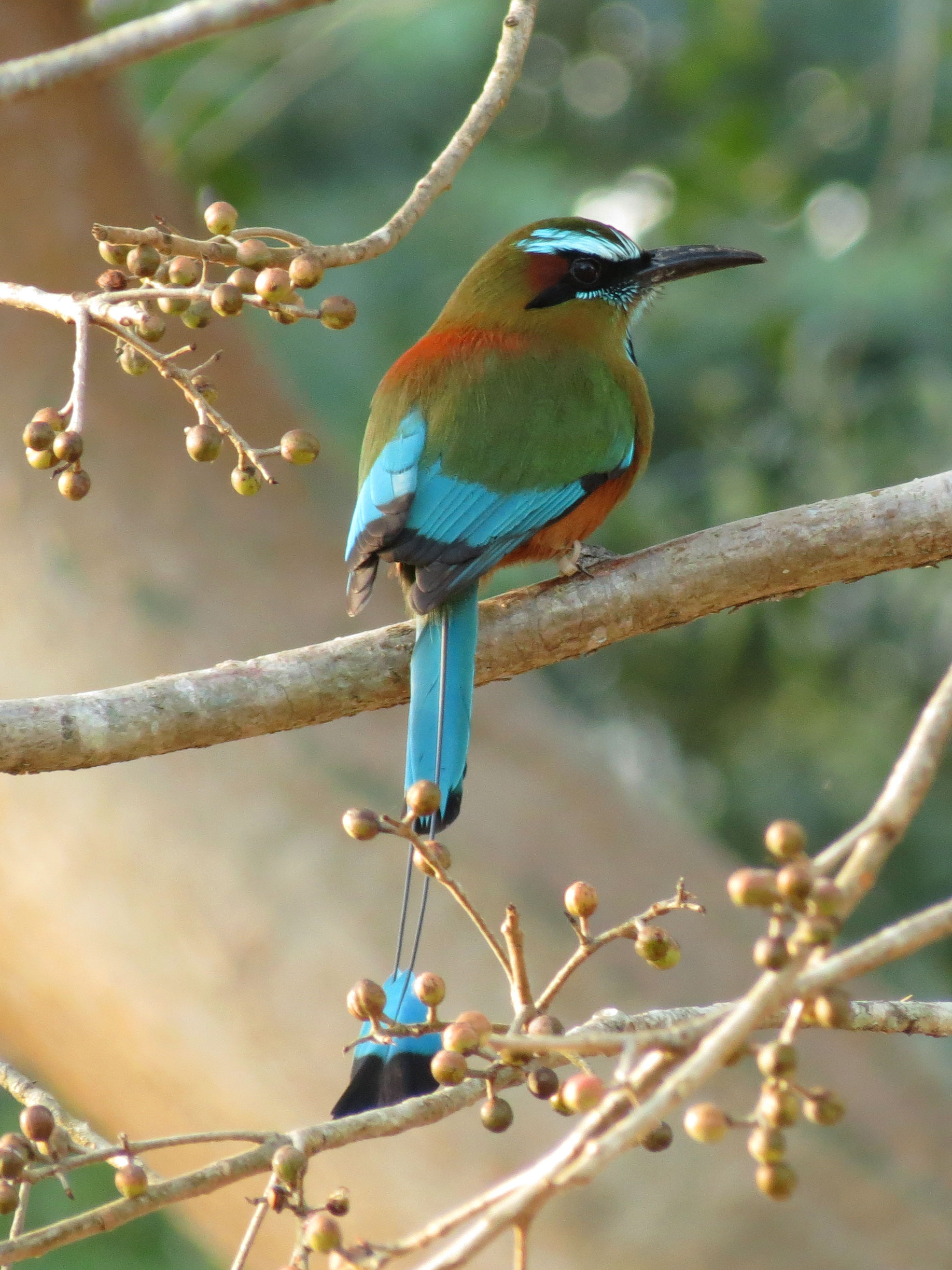 El Salvador National Animal : salvador, national, animal, File:Turquoise-browed, Motmot, (16423222357).jpg, Wikimedia, Commons