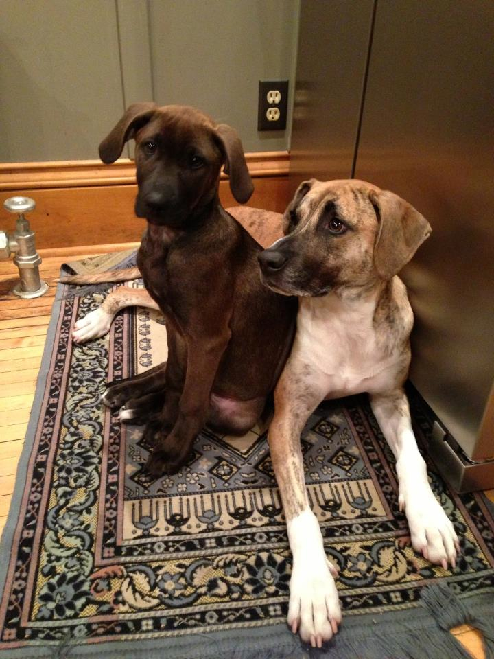 A dark buckskin black mouth cur with a more typical brindled black mouth cur Black Pitbull Dog