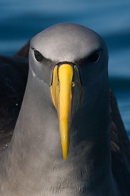 Burung Albatros : burung, albatros, Albatros, Chatham, Wikipedia, Bahasa, Indonesia,, Ensiklopedia, Bebas