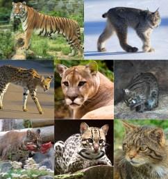 Felidae - Wikipedia [ 1000 x 1000 Pixel ]