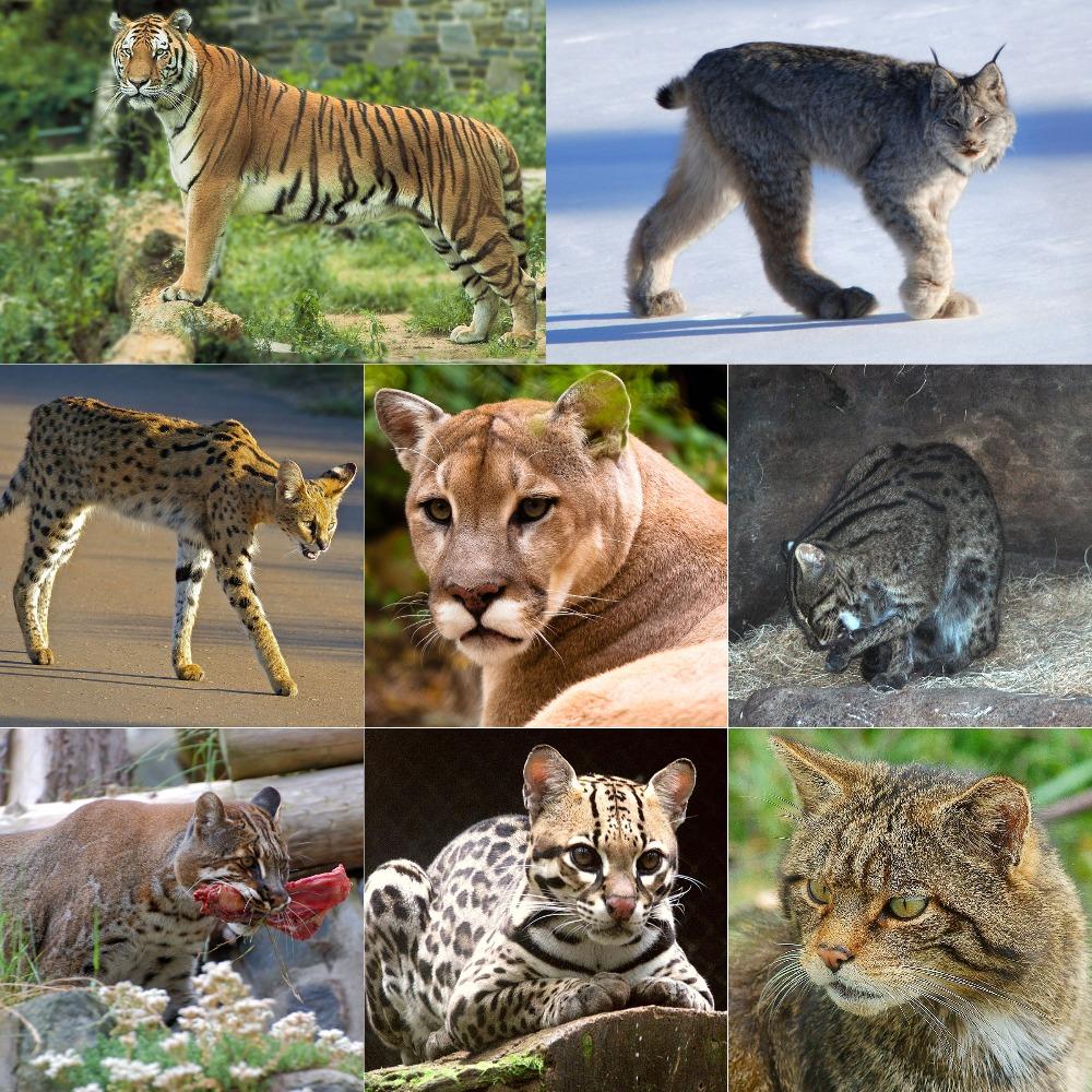 hight resolution of Felidae - Wikipedia
