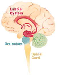 The Brain Limbic System