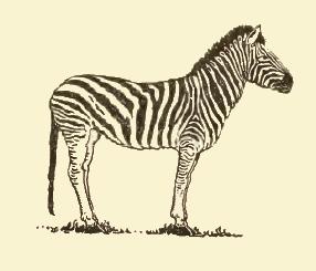 zebra drawing simple zebras commons fairy reusableart wikimedia getdrawings