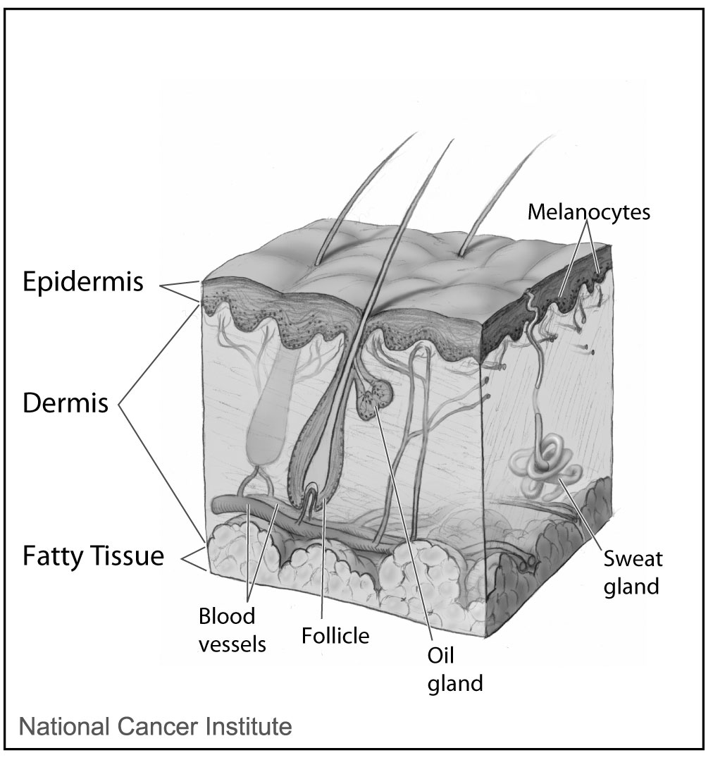 hight resolution of apocrine sweat gland