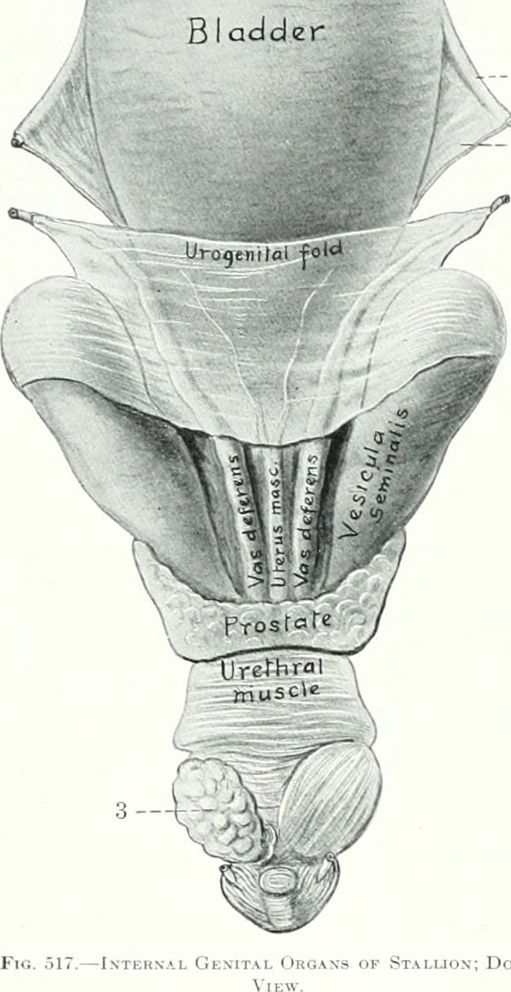 Vesicula Seminalis : vesicula, seminalis, File:The, Anatomy, Domestic, Animals, (1914), (18009226539).jpg, Wikimedia, Commons