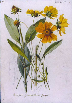 Coreopsis grandiflora  Wikipedia