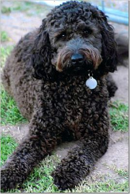 Photograph of black labradoodle