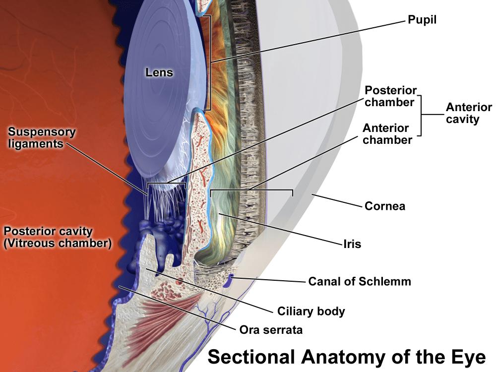 medium resolution of anterior chamber of eyeball