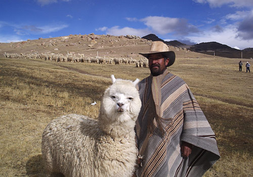 File:Bolivian Alpaca.jpg