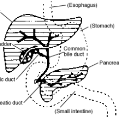 Pancreas Anatomy Diagram Oil Pressure Safety Switch Wiring Bile Duct - Wikipedia