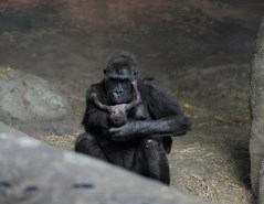 gorille - gorillon - naissance