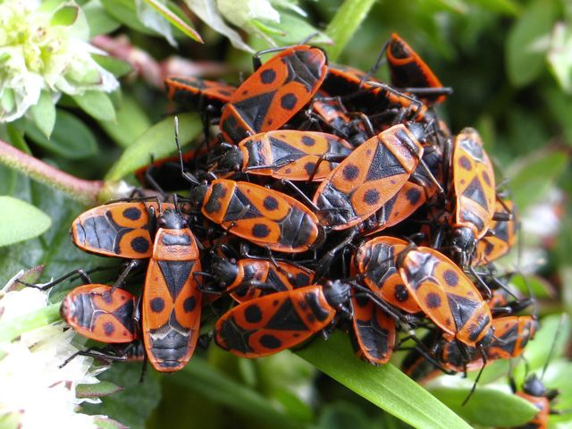 File:Pyrrhocoris apterus group.jpg