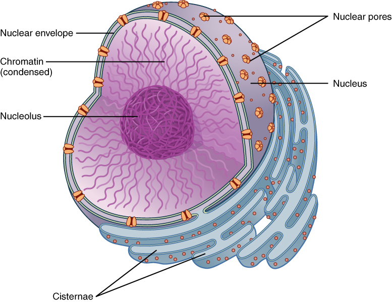 Chromosome Vs Chromatin Nuclear Membrane - Simple English Wikipedia, The Free