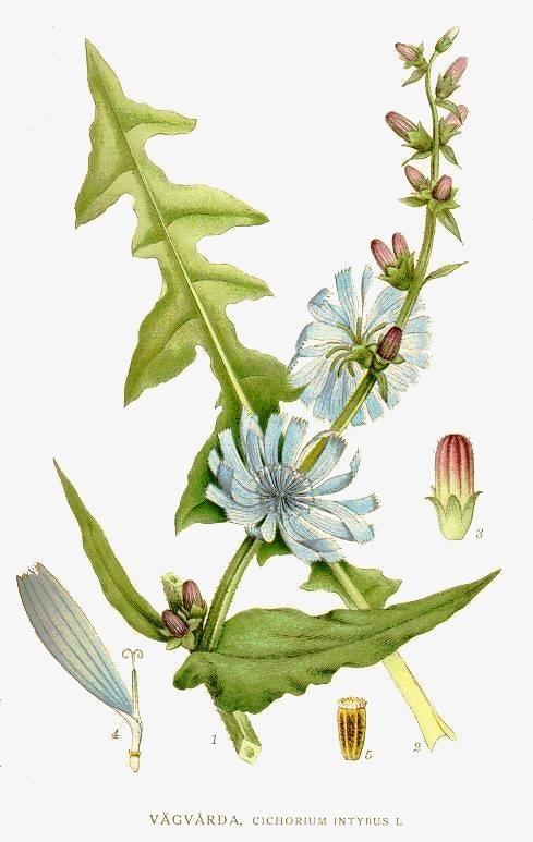 Archivo:49 Cichorium intybus.jpg - Wikipedia, la enciclopedia libre