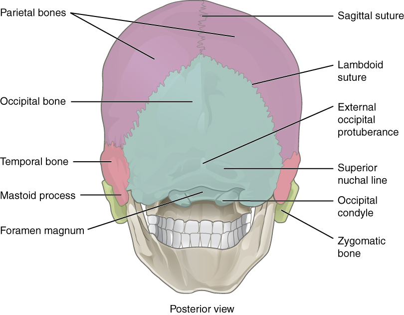 lateral view skull sutures diagram wiring plc zelio human posterior
