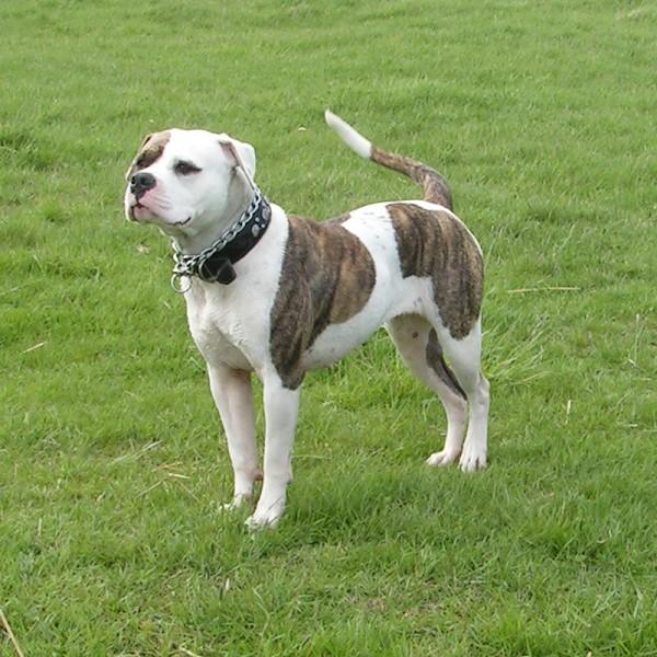 American Bulldog 600 Pitbull Show Dogs