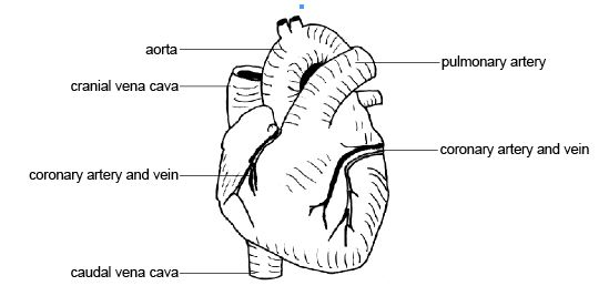Bluendi: label heart diagram worksheet