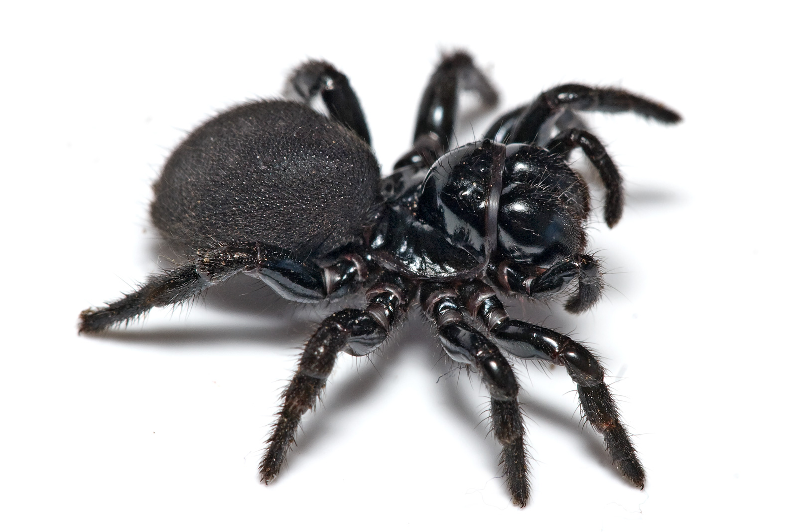 Filemouse Spider02jpg  Wikimedia Commons