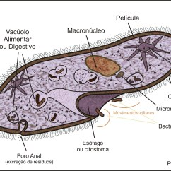 Euglena Cell Diagram With Labels Nissan Almera 2004 Wiring File Paramecium Sp Jpg