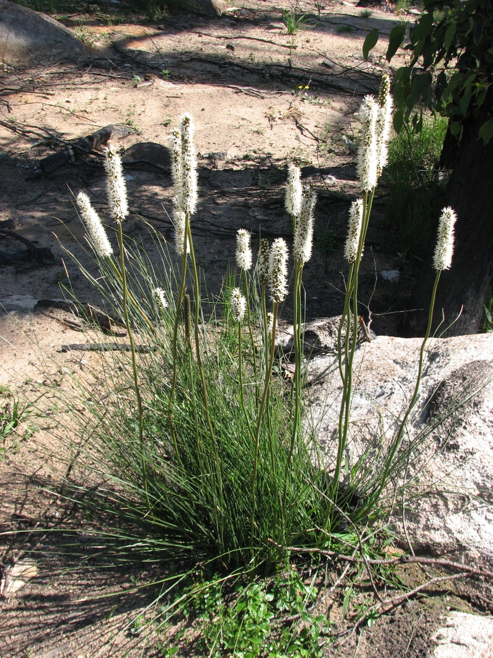 Xanthorrhoea Minor Wikipedia