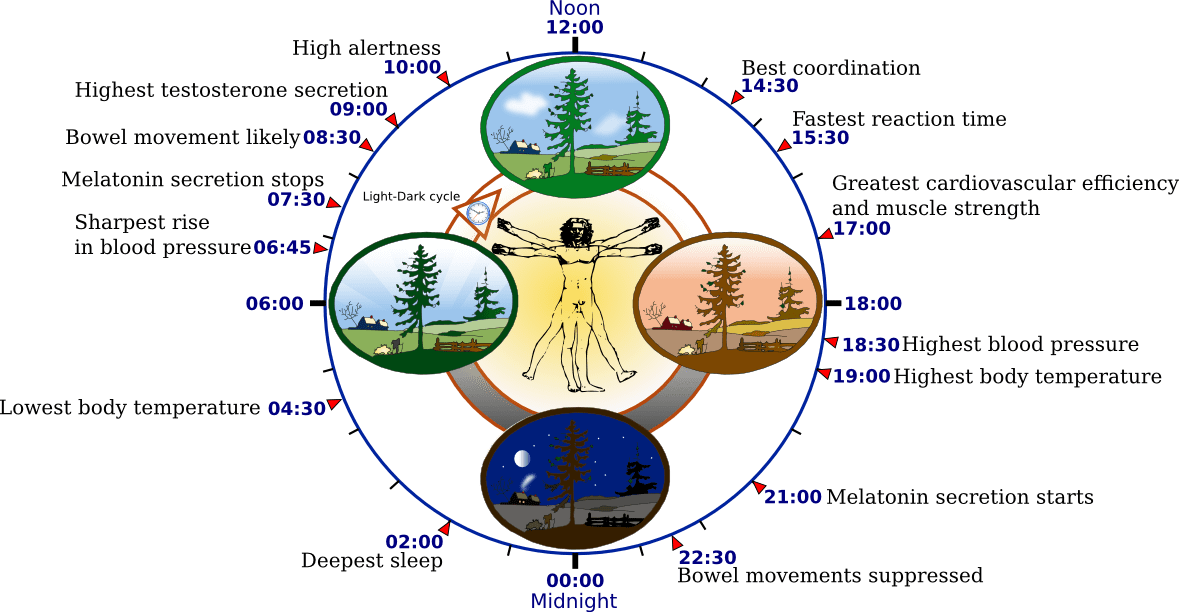 https://i0.wp.com/upload.wikimedia.org/wikipedia/commons/5/5f/Biological_clock_human.PNG