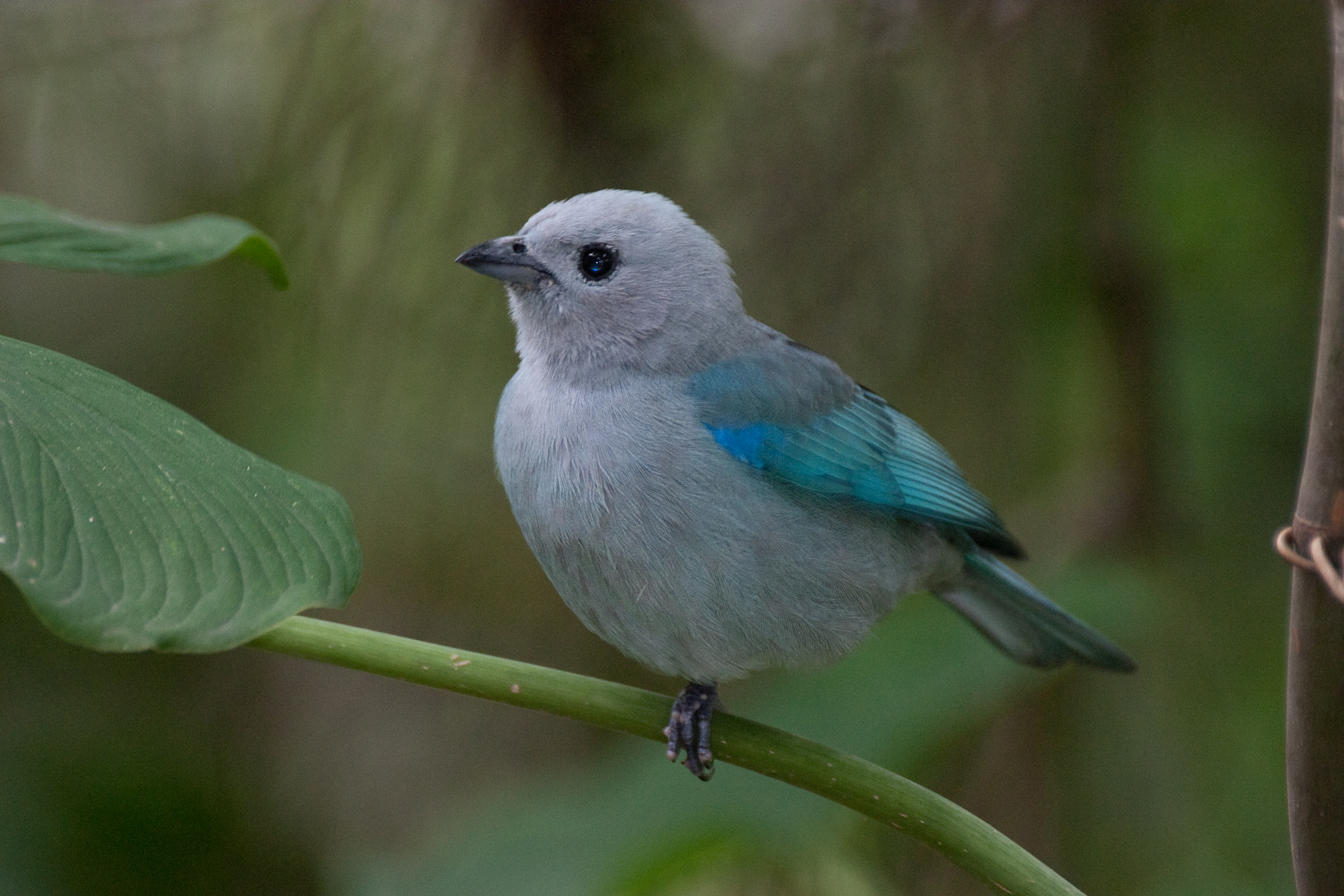 Earth Wallpaper Hd File Blue Grey Tanager Thraupis Episcopus Jpg Wikimedia