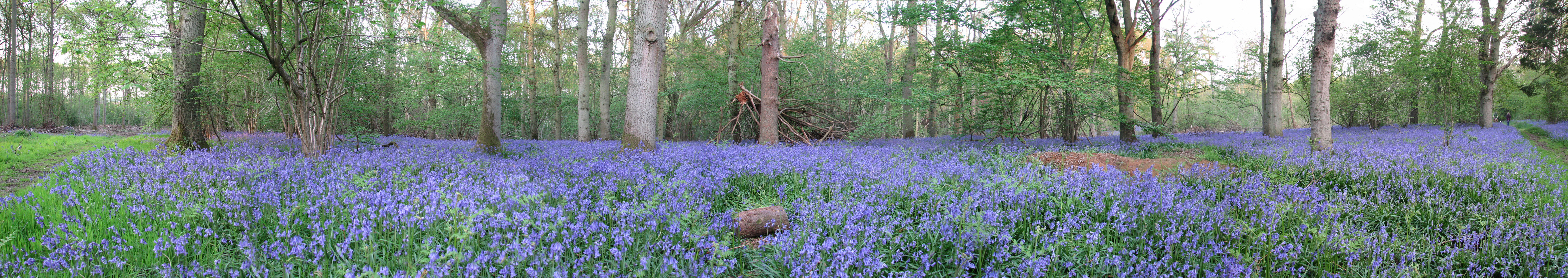 https://i0.wp.com/upload.wikimedia.org/wikipedia/commons/5/5f/Bucknell_Wood_-_Bluebells.jpg