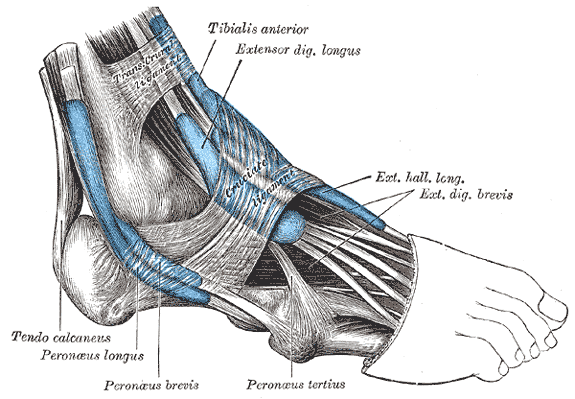The mucous sheaths of the tendons around the a...