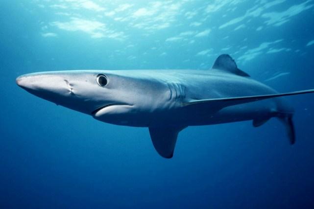 endangered sharks Pondicherry shark