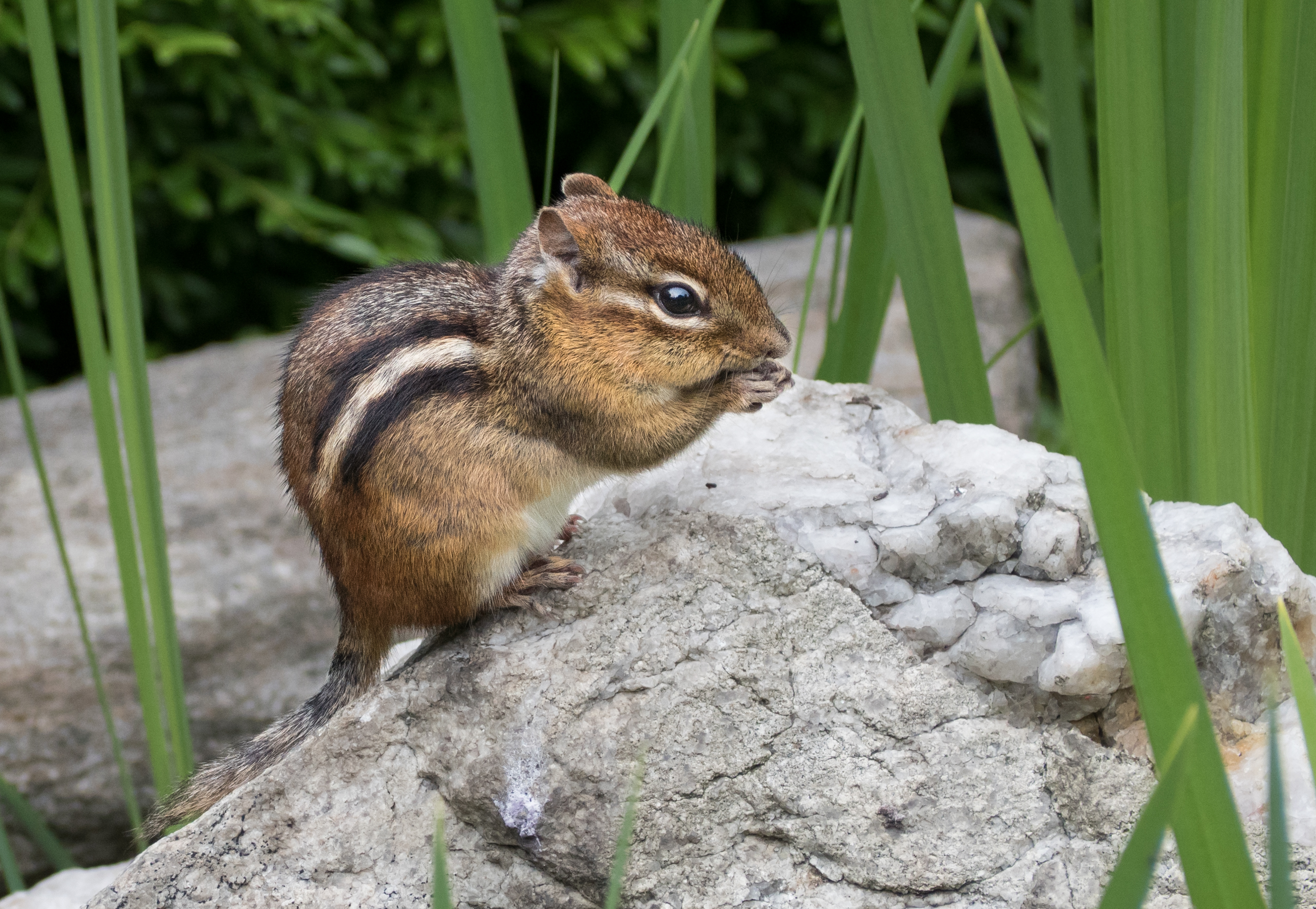 chipmunk wikipedia
