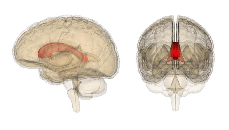 brain diagram thalamus clarion vrx485vd wiring 脳梁 - wikipedia