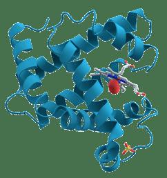 myoglobin structure and diagram [ 1159 x 1173 Pixel ]