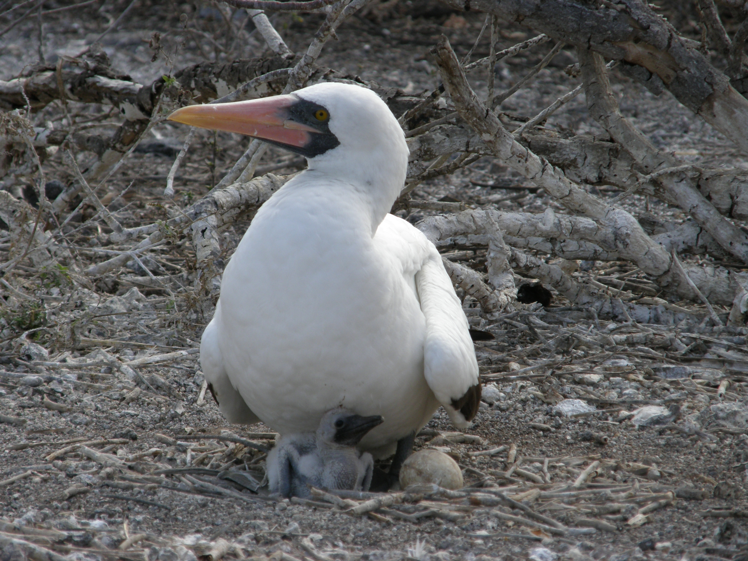 Adult Nazca booby with chick and unhatched egg