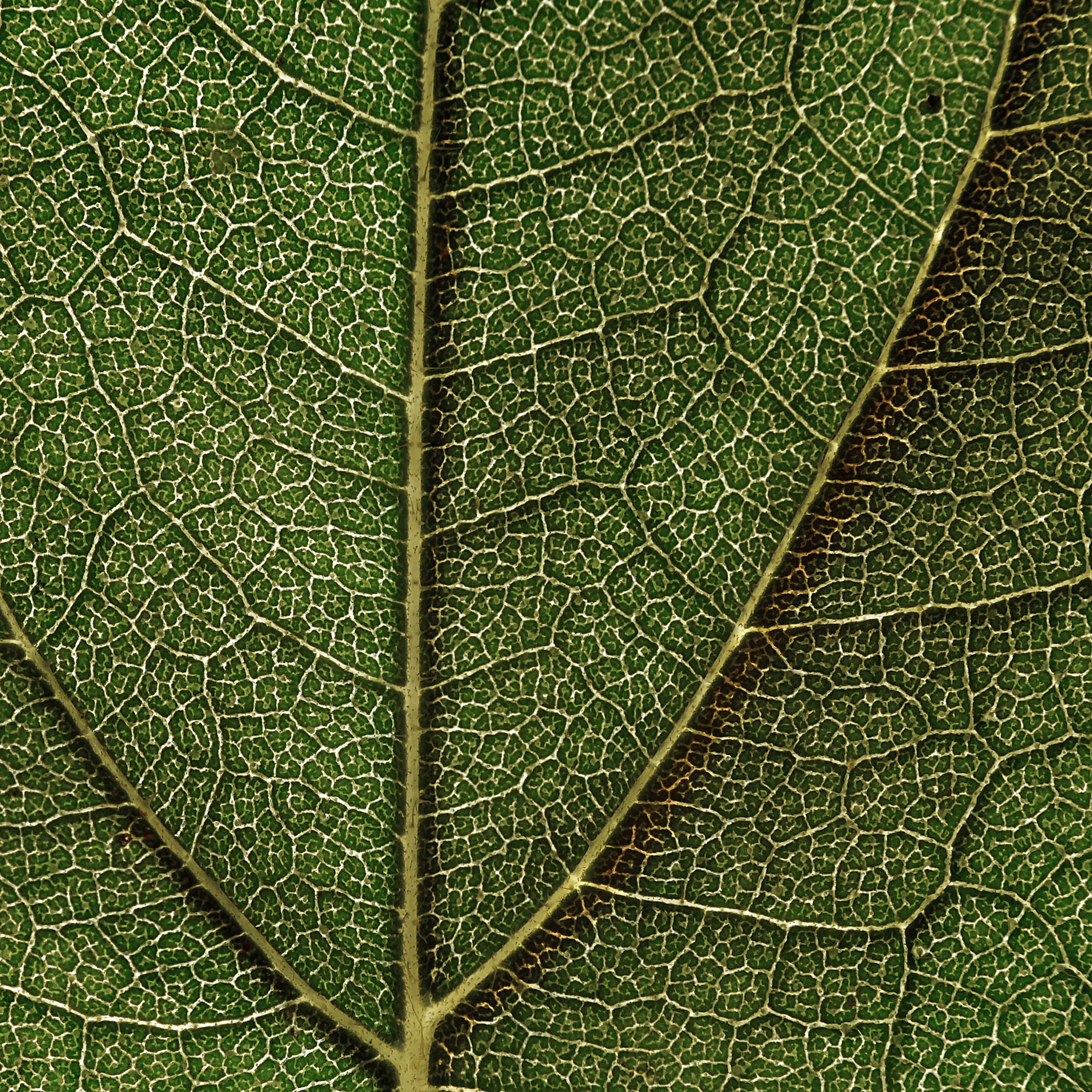 File Sunflower Leaf Structure