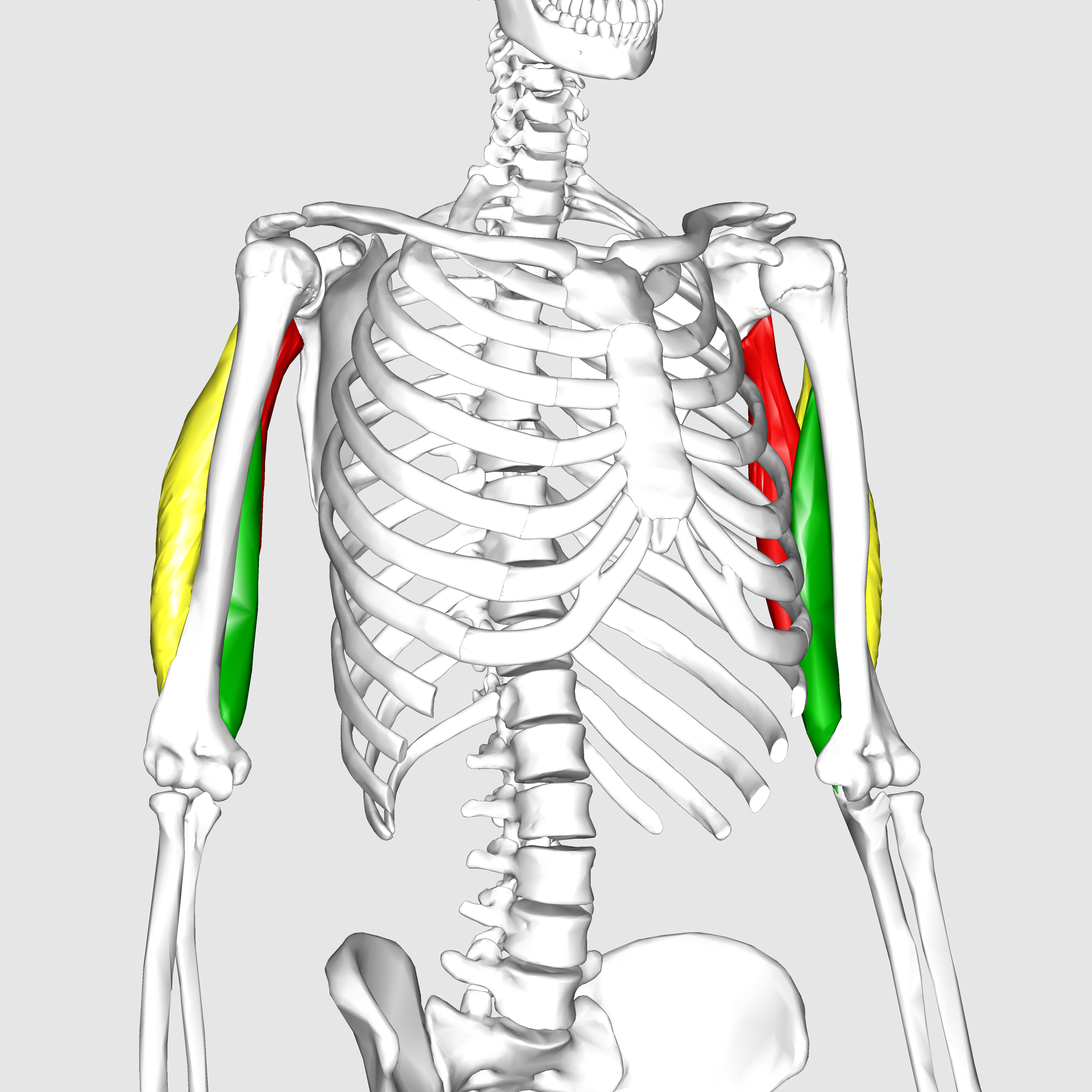 triceps brachii diagram 1965 mustang ignition wiring file muscle09 png wikimedia commons