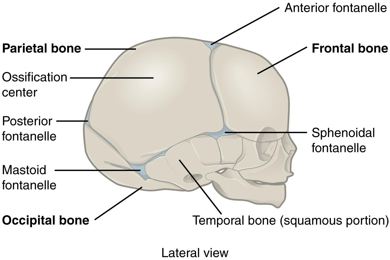 File 905 The Newborn Skull
