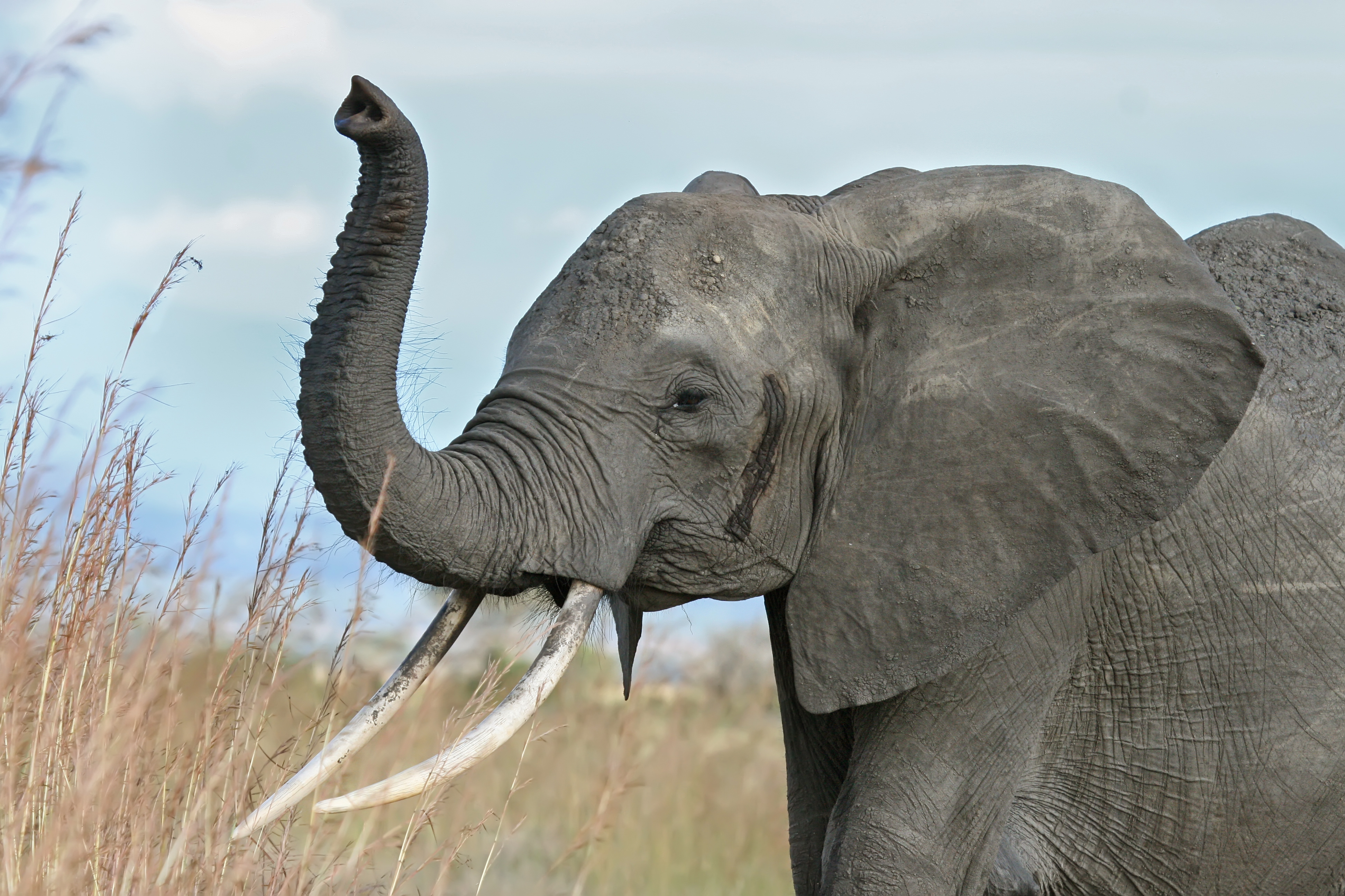file african elephant warning