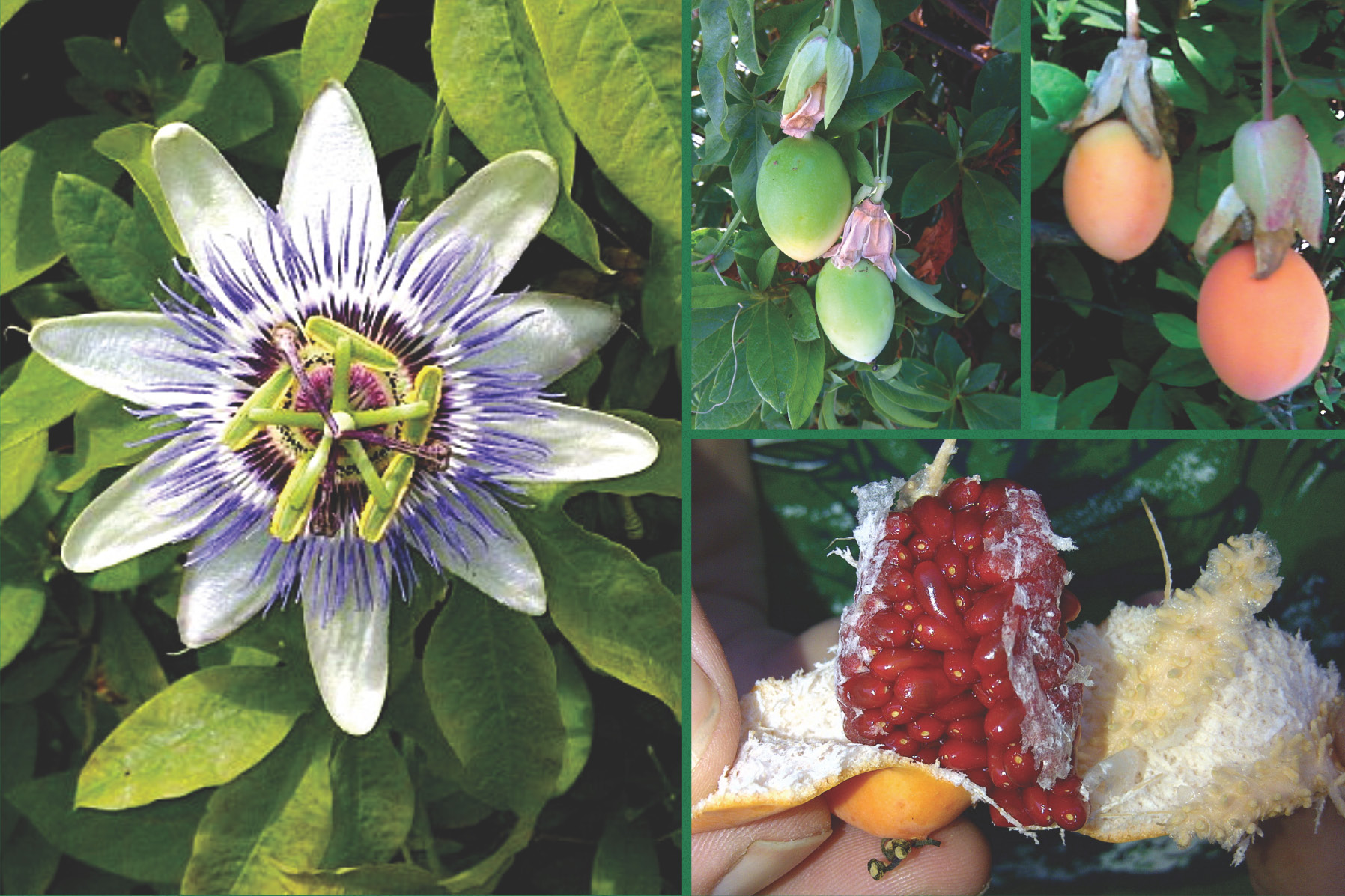 Passionflower And Passion Fruit Natural Herbal Remedy