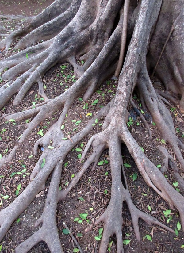 Trees with Buttress Roots