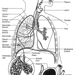 Respiratory System Blank Diagram To Label Tv Circuit Board Repair File Poumons2 Jpg Wikimedia Commons