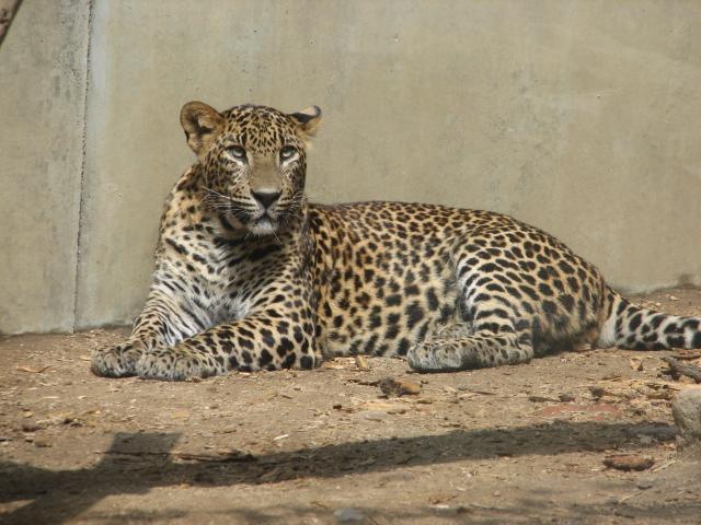 File:SriLankaLeopard-ZOO-Jihlava.jpg