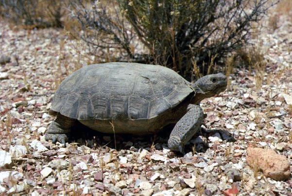 File:Desert tortoise at the Nevada Test Site.jpg