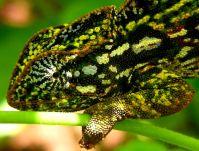 Carpet chameleon - Wikipedia