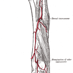 Muscle Diagram Anterior Hand Asco Automatic Transfer Switch Wiring Posterior Ulnar Recurrent Artery - Wikipedia