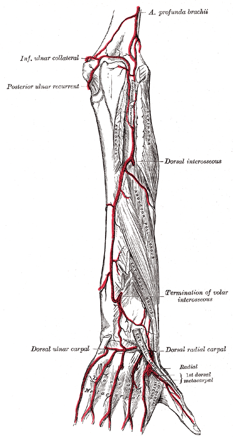 muscle diagram anterior hand rocket ship posterior ulnar recurrent artery - wikipedia