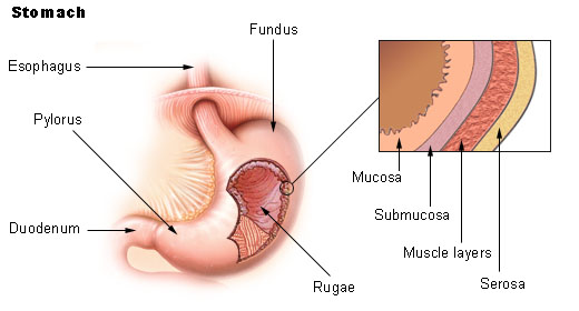 simple epithelial cell diagram ignition coil condenser wiring gastric mucosa - wikipedia