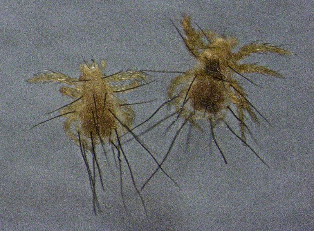 Oribatida  Wikispecies
